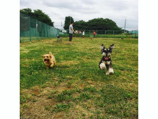 神代植物公園ドッグランで走るノーフォークテリアとミニチュアシュナウザー犬