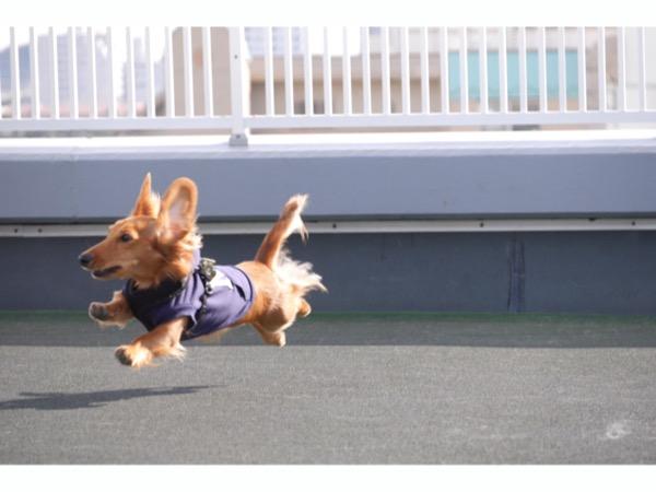 ドッグランを思いっきり楽しむカニンヘン・ダックスフンドの愛犬カイ