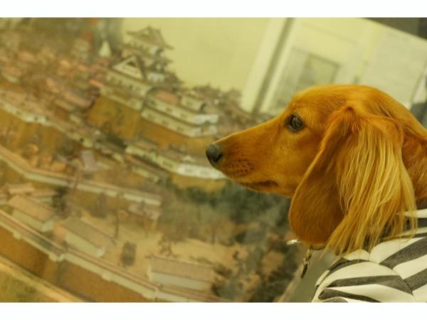 城郭模型を見つめる愛犬