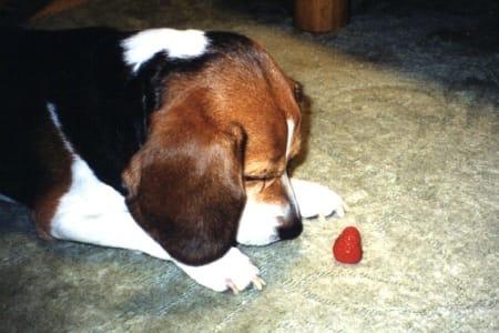 ビーグル犬とイチゴ