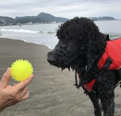 砂浜でゴールデンドゥードル犬とボール遊び