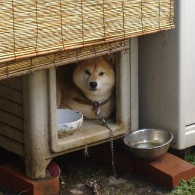 犬小屋に入っている柴犬