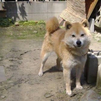 庭に立ってこちらを見ている柴犬