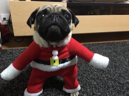 サンタのコスプレをしたパグ犬