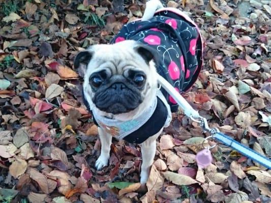 枯葉の上に立つパグ犬