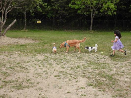 ドッグランを走るゴールデン・レトリバーと小型犬と女の子
