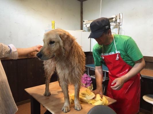 トリミング台の上でお手入れされるゴールデン・レトリバー犬