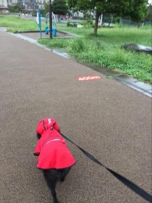 赤いカッパを着て歩く散歩中の黒ポメラニアン