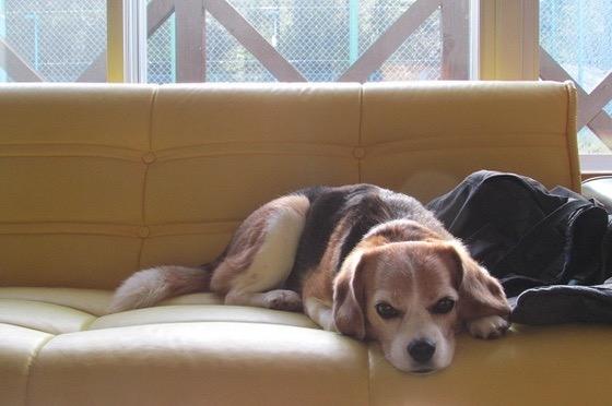 ソファに寝そべっている犬