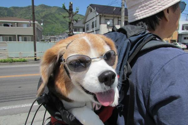 サングラスをしてリュックに入った犬