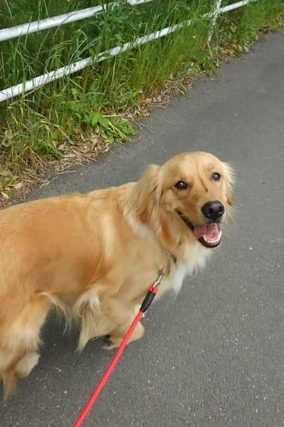 散歩中に飼い主を見上げるゴールデンレトリーバー