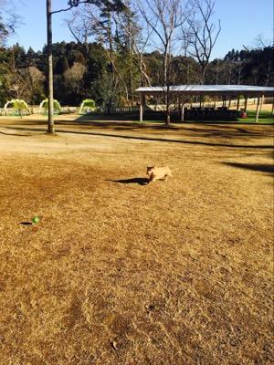 枯れた芝生の上でボールを追いかけるノーフォークテリア