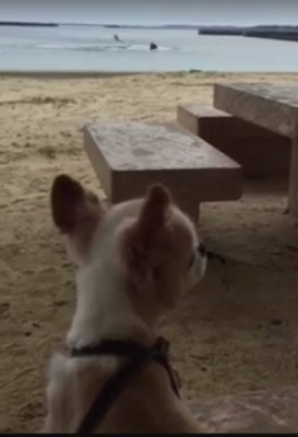 沖縄の海を見るチワワ犬の後ろ姿