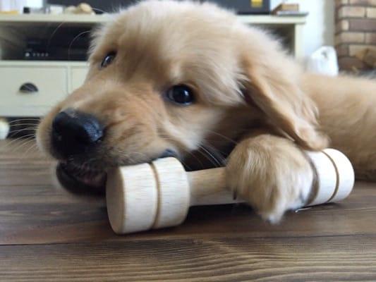 木のおもちゃをかじるゴールデンレトリーバーの子犬