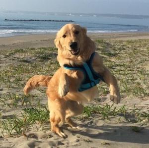 海を背景に砂浜で飛び跳ねるゴールデン・レトリバー犬