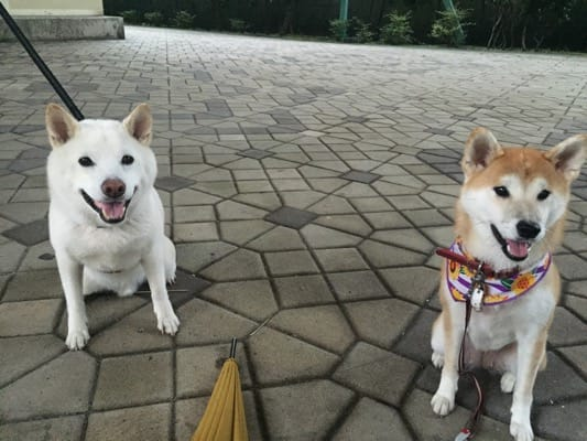 柴子(柴犬)と友犬