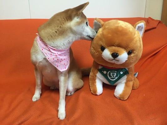 柴子(柴犬)