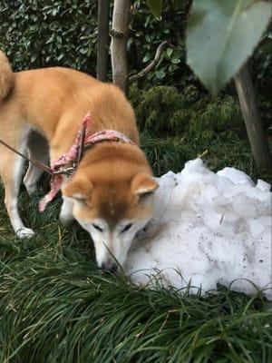 散歩中の柴子(柴犬)