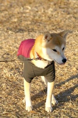 柴犬の琉那