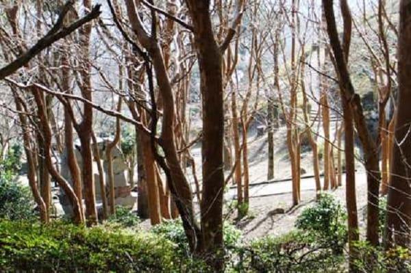 姫の沢公園ヒメシャラ林