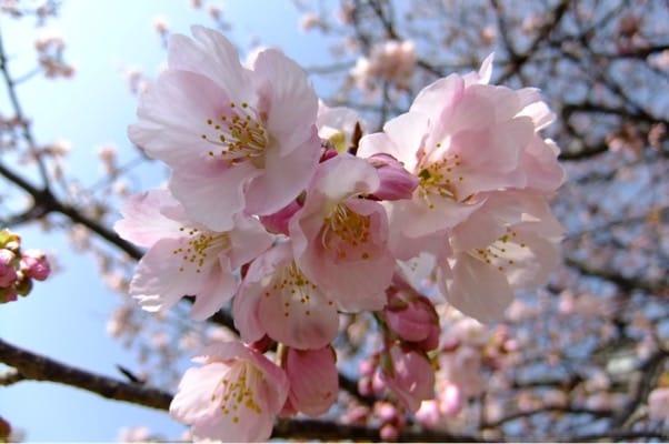 熱海ジャカランダ遊歩道に咲く桜