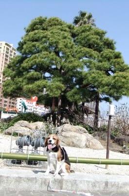 お宮の松の前に座る愛犬