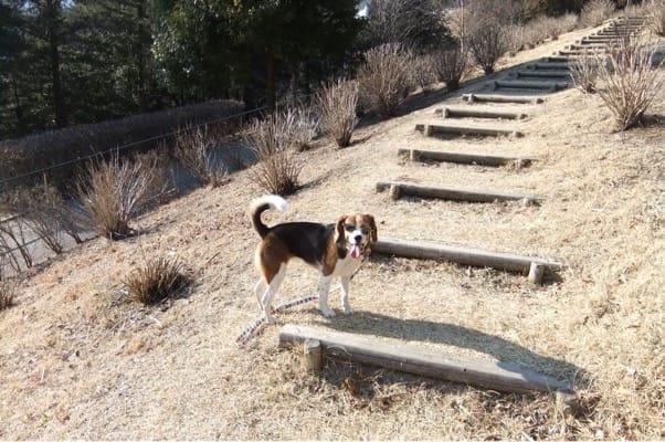 宮ケ瀬ダムに通じる遊歩道を歩く愛犬