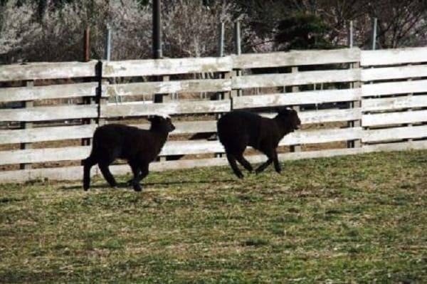 牧場の子羊