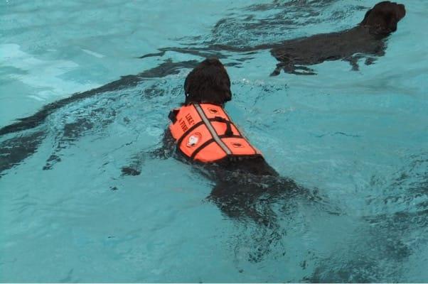 woofプールで泳ぐ黒い犬