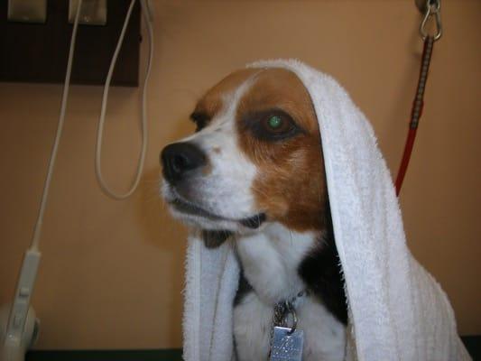 woofトリミング室でタオルを掛けられた犬