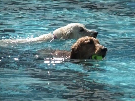 woofプールで泳ぐ大型犬2頭