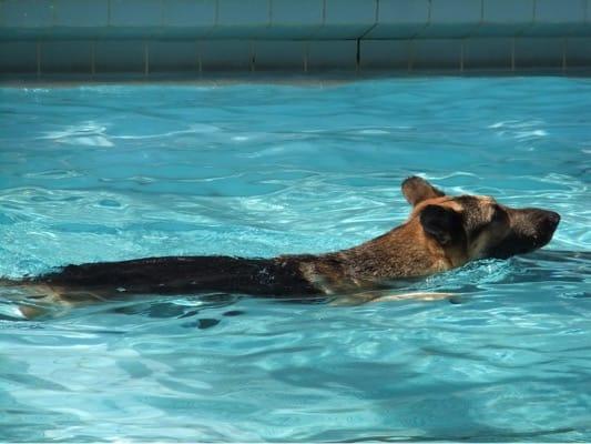 woofプールで泳ぐシェパード