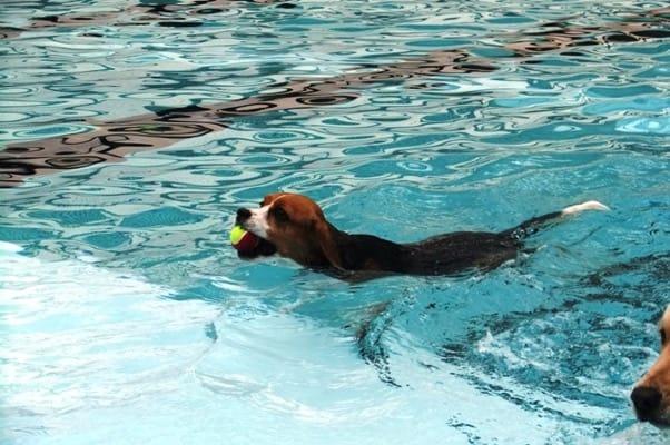 woofプールでボールを咥えて泳ぐミックス犬