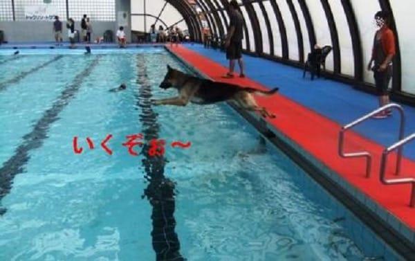 woofプールに飛び込むシェパード