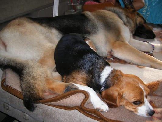 woofから帰る車中で眠る愛犬たち