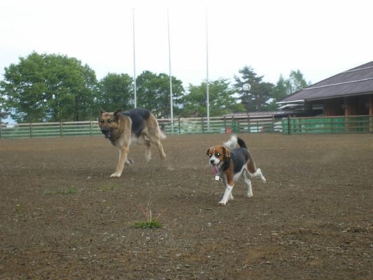 woofのドッグランを走るシェパードとミックス犬