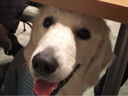 プティシアン店内のテーブルの下に座る白い大型犬