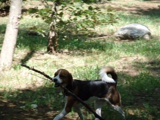 woofのドッグランで大きな枝を咥えて歩くミックス犬