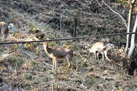 七沢森林公園森駐車場近くにいた鹿の群れ