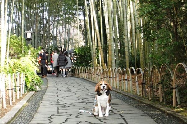愛犬、竹林の小径にて