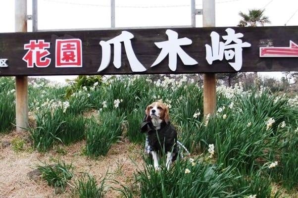 愛犬、爪木崎にて
