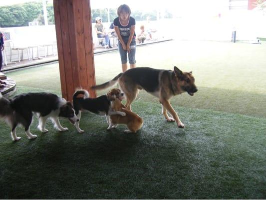 旧DOG GARDEN RESORTで遊ぶシェパードと犬たち