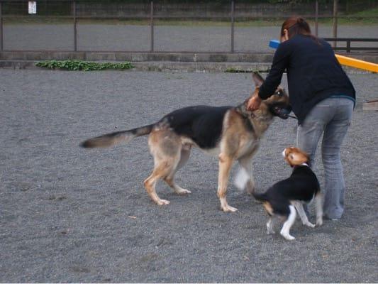 寄ふれあいドッグラン(旧名)で遊ぶシェパードとミックス犬