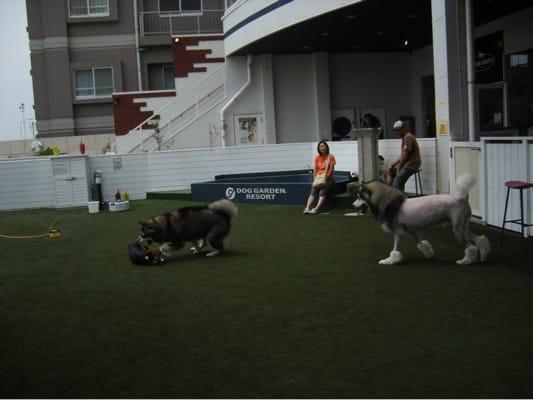 旧DOG GARDEN RESORTで遊ぶ大型犬たち