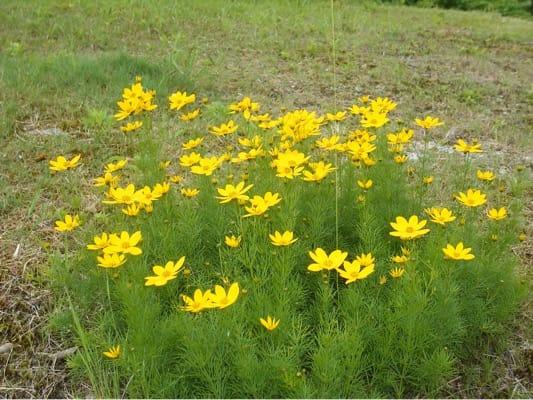 アルプの里ロックガーデンに咲く黄色い花