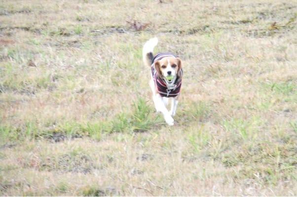 岩原スキー場でボールを咥えて駆け寄ってくる愛犬