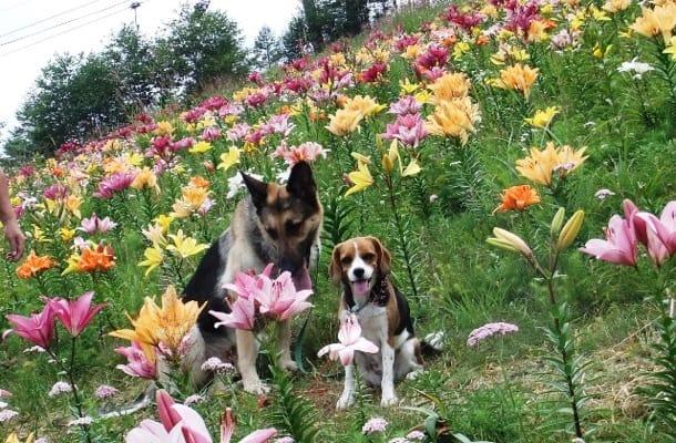 愛犬とシェパード、サンメドウズにて