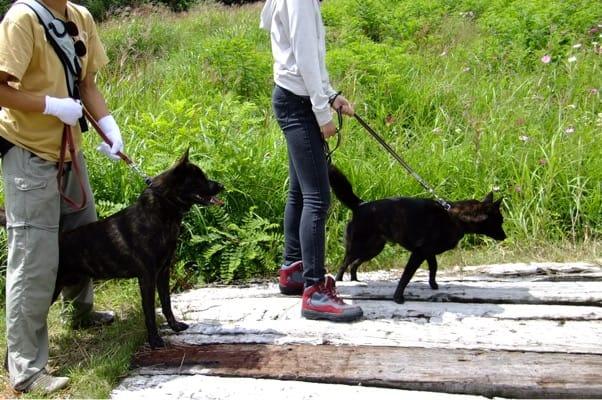 サンメドウズを歩く甲斐犬2頭