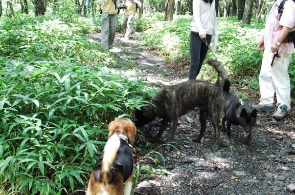 サンメドウズ散策路を歩く甲斐犬2頭とミックス犬