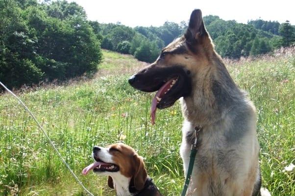 サンメドウズ散策路に座るシェパードとミックス犬